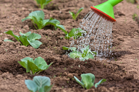 watering the cabbage in the vegetable garden, closeup