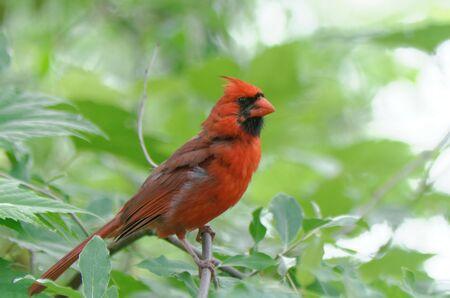 Photo pour Northern Cardinal (Cardinalis cardinalis) perched among some green leaves - image libre de droit