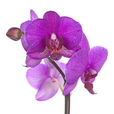 Blooming twig of purple orchid isolated on white background. Closeup.の写真素材