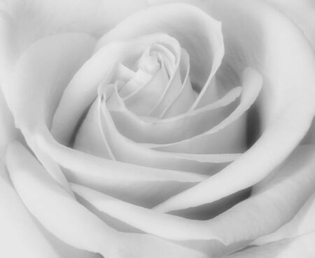 Closeup black and white of rose bud blooming
