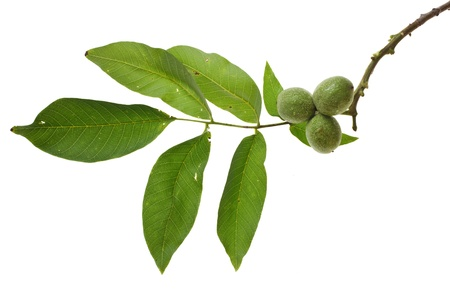 lnut branch with unripe fruits isolated on white backgroundwa