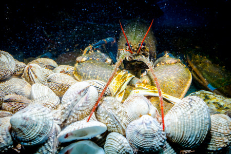 Photo for Live exotic and expensive crayfish with tied claws on pile of clams are in aquarium, tank at traditional seafood restaurant for sale. - Royalty Free Image