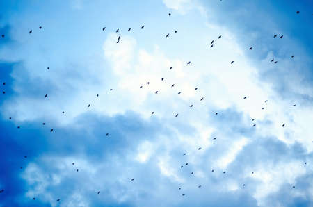Photo pour flock of crows flying in the sky - image libre de droit