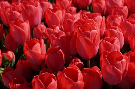 Photo pour Spring. Nature. Red tulips blossomed under the spring sun in the city park. - image libre de droit