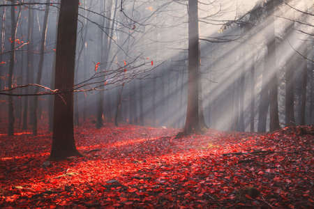 Photo pour Autumn forest with colorful leaves and sun rays in misty fog - image libre de droit