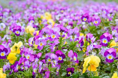 Photo for purple and yellow pansies, spring mood flowers planted in the park - Royalty Free Image