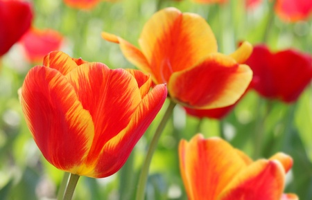 Close Up Red And Yellow Tulips
