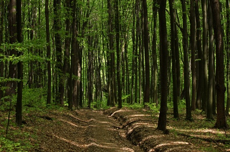 road in deciduous forest with beech trees