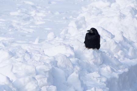 black crow sitting on snowdrift
