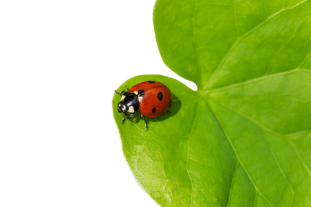 Photo for ladybug sitting on green leaf isolated on white background - Royalty Free Image