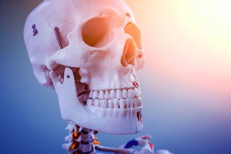 Photo pour Human anatomy model. Medical office. Medical Background - image libre de droit