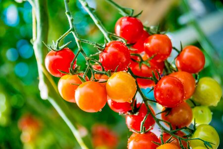 Photo for Beautiful red ripe tomatoes grown in a greenhouse. Beautiful background - Royalty Free Image