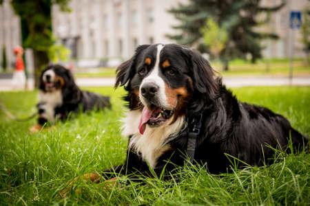 Photo pour Portrait of two cute Berner Sennenhund dogs at the park. - image libre de droit