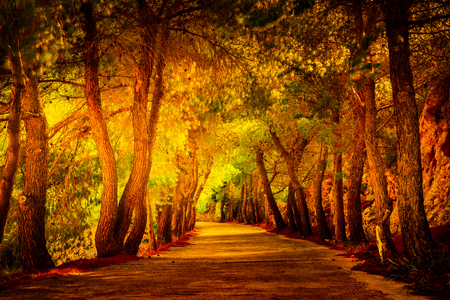 Photo for Pine tree avenue in the mediterranean region. Beautiful landscape picture - Royalty Free Image