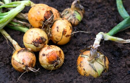 Photo for Crop of onions in field. Harvest of onion on the ground. - Royalty Free Image