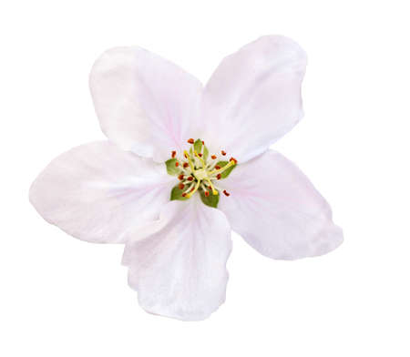 Photo pour Flower apple blossoms bloomed isolated on white. Close up of Apple blossoms. - image libre de droit