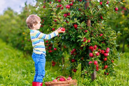 Photo for Active happy blond kid boy picking and eating red apples on organic farm, autumn outdoors. Funny little preschool child having fun with helping and harvesting. - Royalty Free Image