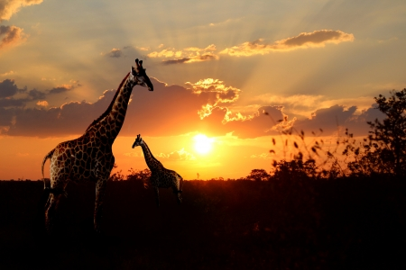Giraffes with n African suns