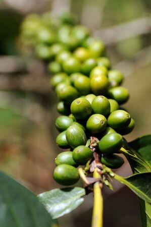 Coffee cherry
