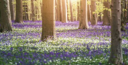 Foto per Bluebells enchanted forest in Belgium - Immagine Royalty Free