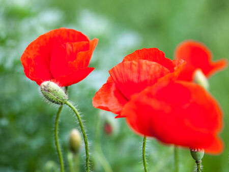 Closeup of the blooming red poppy flowers and poppy buds.