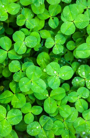 The green carpet of bright and fresh clover leaves with drops of dew.の写真素材