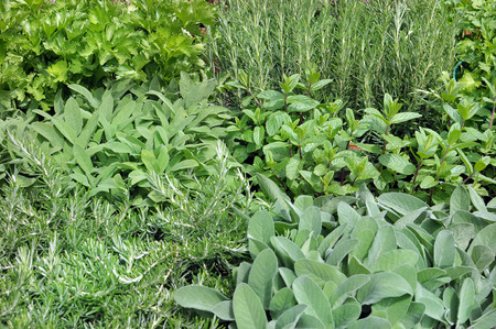 garden with variety of aromatic plants  rosemary, sage, mint, parsley