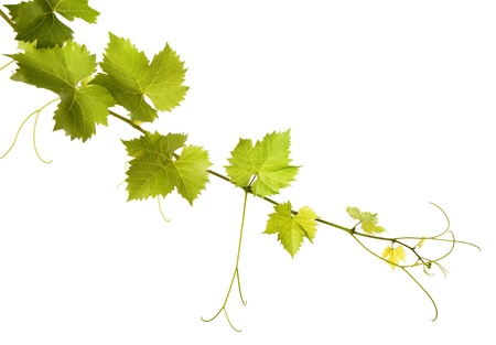 Vine leaves on a white background