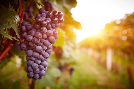 Photo pour Vineyards at sunset in autumn harvest. Ripe grapes in fall. Toned - image libre de droit