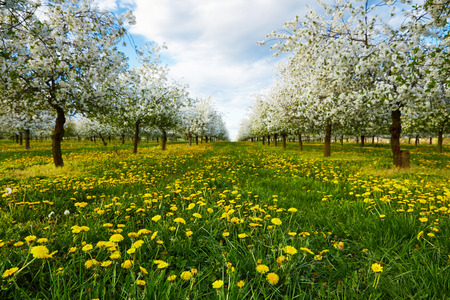 Dandelions in spring in cherry blooming orchard