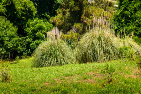 Photo for Pampas Grass or Cortaderia selloana or Cortaderia Cello or Cortaderia dioecious in natural decoration city park. - Royalty Free Image