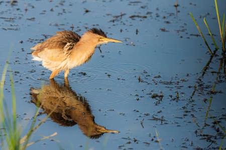 Photo pour Eurasian Bittern or Botaurus stellaris hunting in water of pond or lake. - image libre de droit