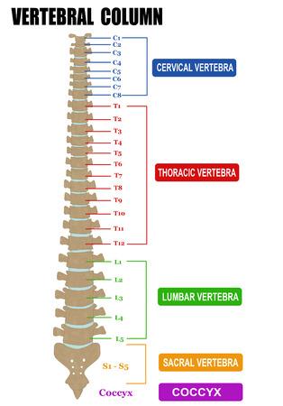 Vertebral column - including Vertebra Groups ( Cervical, Thoracic, Lumbar, Sacral ), vector illustration (for basic medical education, for clinics & Schools)