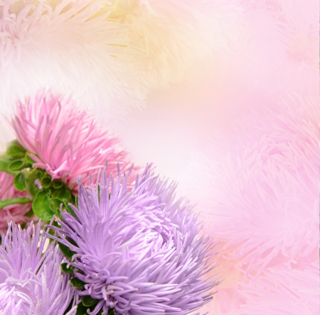 Aster flowersの写真素材