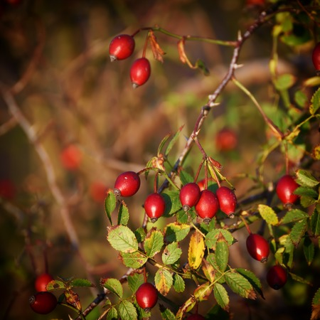 Rosehip berries on the twigs, natural autumn seasonal dark grunge background