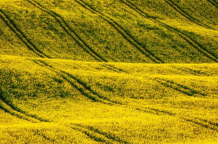 Photo pour Rapeseed yellow field in spring - image libre de droit