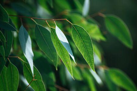 Photo pour Eucalyptus green leaves - image libre de droit