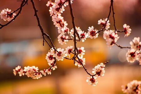 Photo pour Apricot tree blossoms - image libre de droit