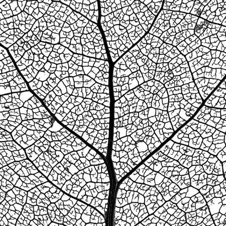 Leaf Skeleton Network - close-up of a cottonwood tree leaf skeleton - showing its vascular network