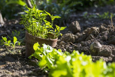 Young plants of chili in vegetable garden organic
