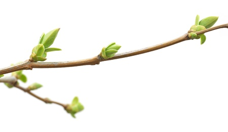 Isolated branch and buds. Nature design.