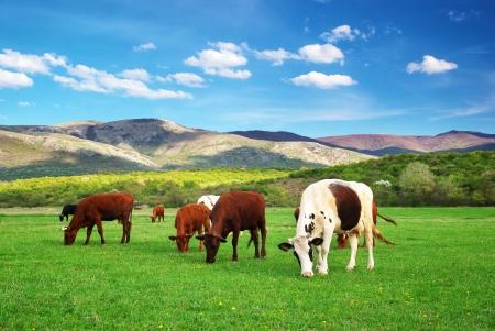 Photo pour Cow on green meadow  Nature composition  real  - image libre de droit