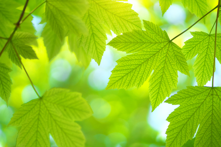 Foto per Green spring leaf of maple tree and beautiful bokeh background. Composition of nature. - Immagine Royalty Free