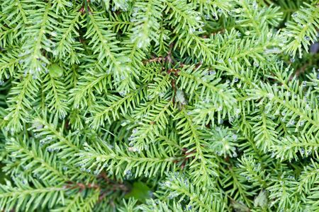 Background of green branches with needles fir tree in summer