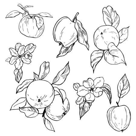 Illustration pour Hand drawn apples. Fruits and flowers. Vector sketch illustration. - image libre de droit
