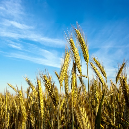 a grain-field in front of blue sky