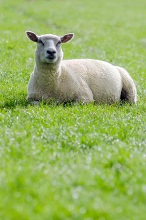 a white sheep lies on a green meadow