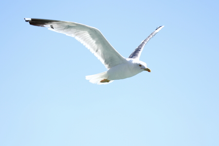 Photo for a flying seagull with blue sky background - Royalty Free Image