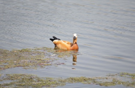one ruddy shelduck on water at day