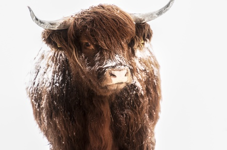 Scottish highland cow covered with snow